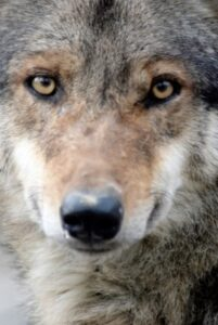 Lupus is Latin for wolf